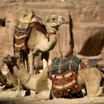 Petra camels at rest