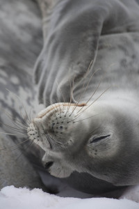 Napping Weddell Seal: