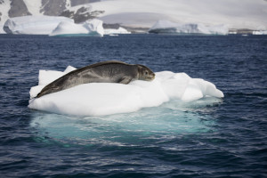 Closeup of seal napping on tiny ice-flow